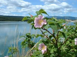 wildflowers_roseopen