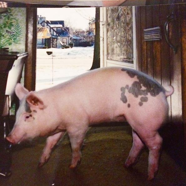 Ellie the Pig